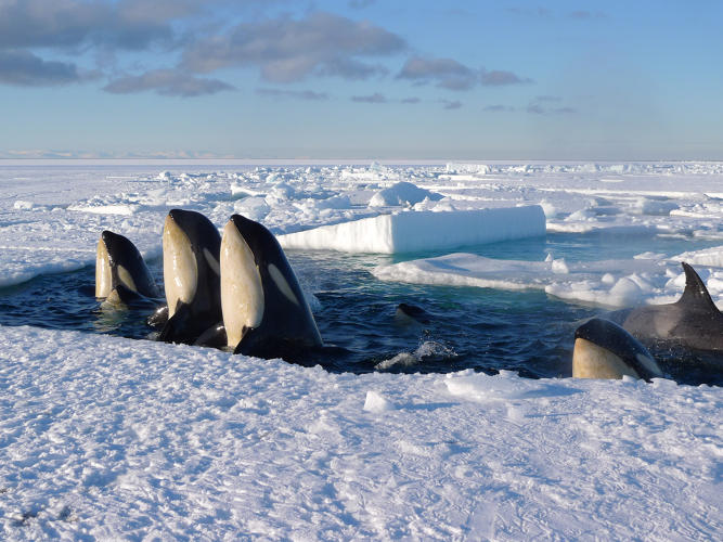 "<p><strong>ON THE PROWL.</strong> &quot;Spy-hopping&quot; orcas in Antarctica use ice leads (cracks in the ice) to come up for air and have a look around. Director Chadden Hunter and his camera lens were treated to a pungent spraying of the whales' oily fish breach while filming this group, looking for a route through the ice toward better fishing near the coastline. In the sky, Berlowitz directed aerial shots while keeping an eye on the fracturing ice. Fothergill explains, ""Ice floes are dangerous places to work, because they can easily float away, and the crews can be blown out to sea.""</p>"