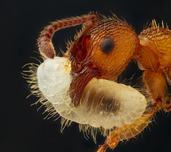 <p>An ant carries larva in its mouth, magnified 5x, by Geir Drange.</p>