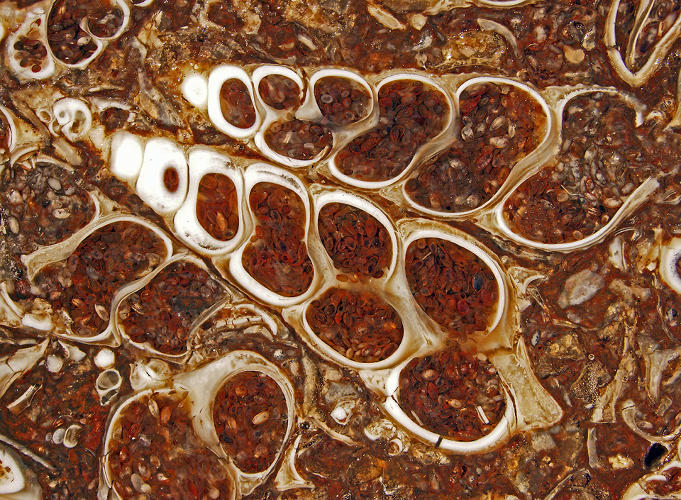 <p>Fossilized Turitella agate containing Elimia tenera (freshwater snails) and ostracods (seed shrimp), by Wisconsin scientist Douglas Moore.</p>