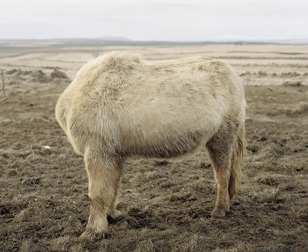 <p>Most animals in Iceland have no heads (kidding).</p>