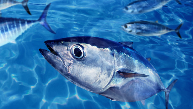Robo tuna swims the seas to keep you safe co exist for Is tuna fish good for you