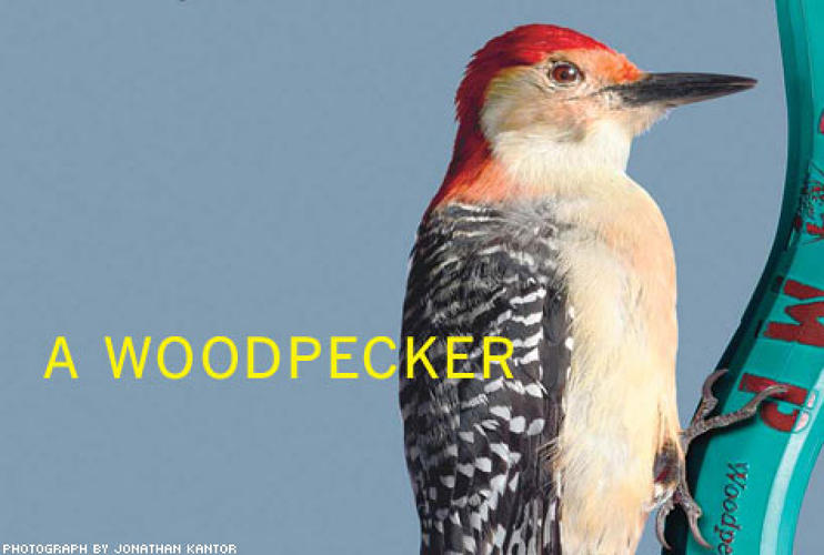 <p> A woodpecker hammers out 25 pecks per second, hitting a tree trunk with an impact that would rip out the brains of other birds. But this master chiseler, which typically weighs a pound, uses its entire body for each blow: The tail acts as a brace and spring, and the configuration of spine and skull helps distribute the impact.  </p>