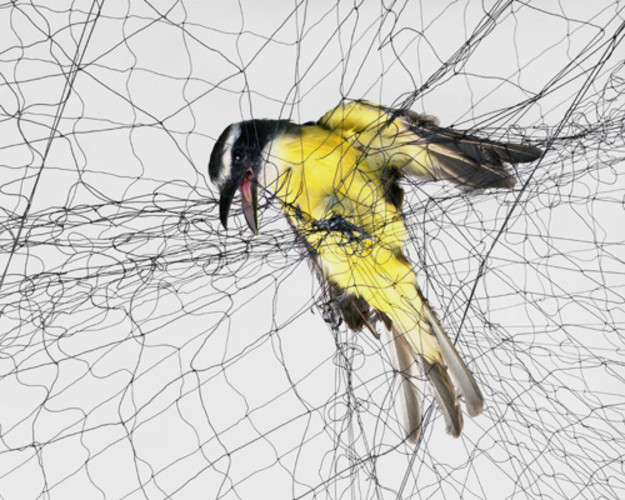 <p>Captured on film in the moment they're <a href=&quot;http://www.fastcoexist.com/1680259/be-mesmerized-by-these-photos-of-birds-caught-in-nets#2&quot; target=&quot;_self&quot;>snagged by biologists for study</a> (they let them go unharmed, don't worry), these photos of trapped birds are an oddly compelling illustration of the intersection of nature and science.</p>
