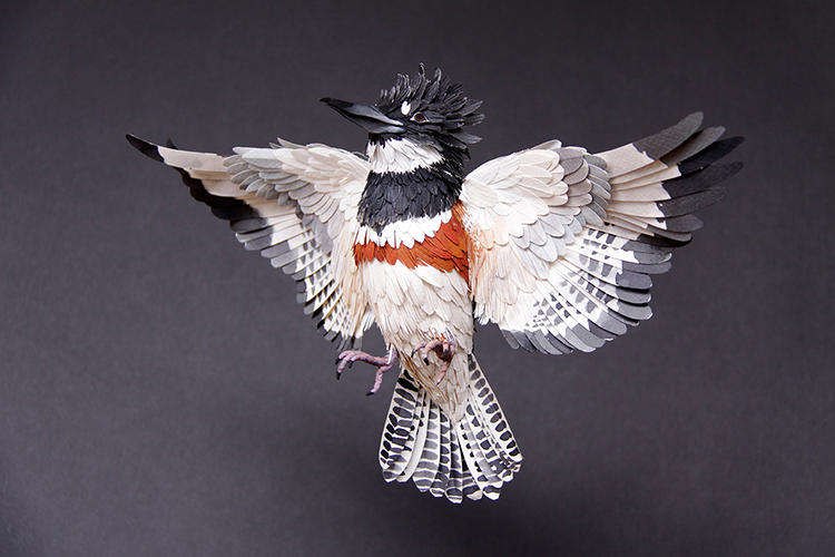 <p>Belted kingfisher</p>