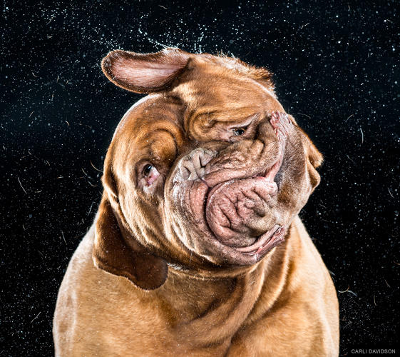 <p>Dogue De Bordeaux</p>