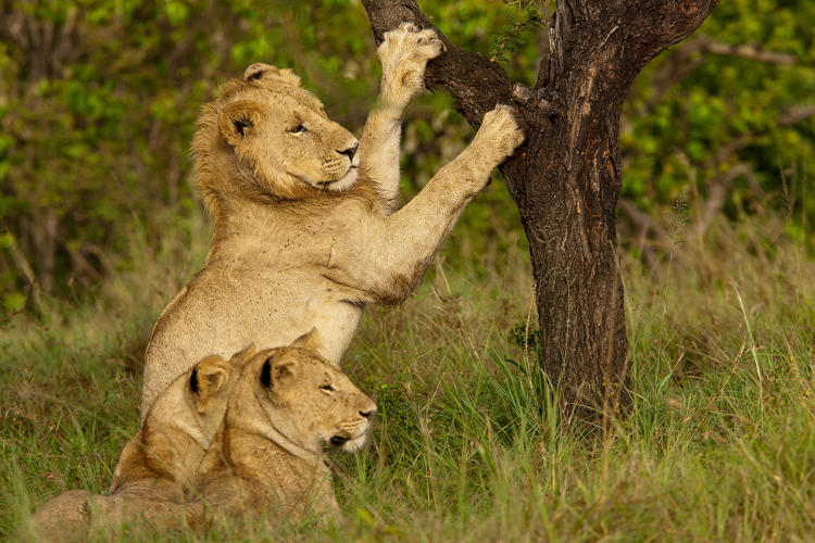 <p>Three sub-adult males about 2 1/2 years old, one of which is sharpening his claws against a tree in the Masai Mara in Kenya.</p>