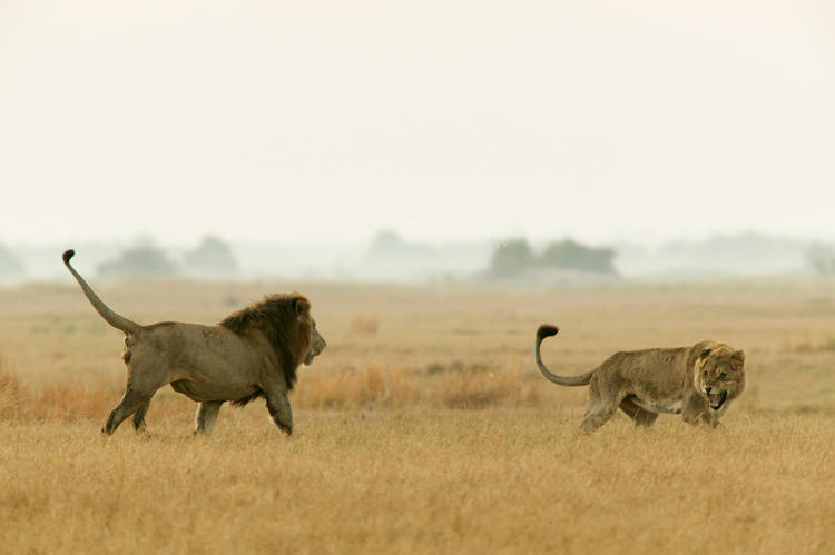 <p>A dispute between a lioness and an adult male lion in the Okavango Delta in Botswana.</p>