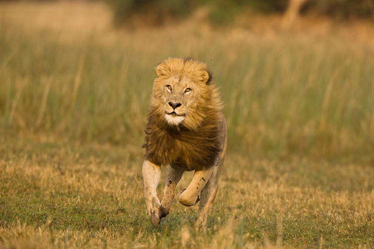 <p>A mature male runs in and chases a young sub adult male out of his pride and out of the territory.</p>