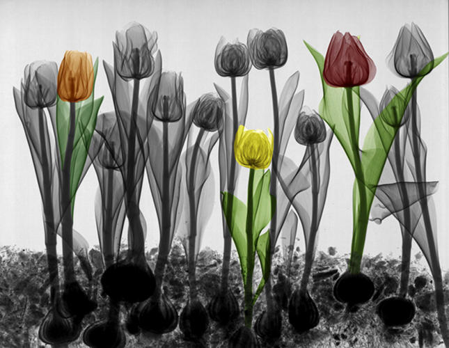 "<p>While training radiographers and physicians, Van 't Riet hit on a novel way of demonstrating the effect of the thickness of a material on X-ray absorption. ""I chose flowers,"" he says. ""The thickness of the leaf differs from the thickness of the stem of the flower, but it's all the same material.""</p>"