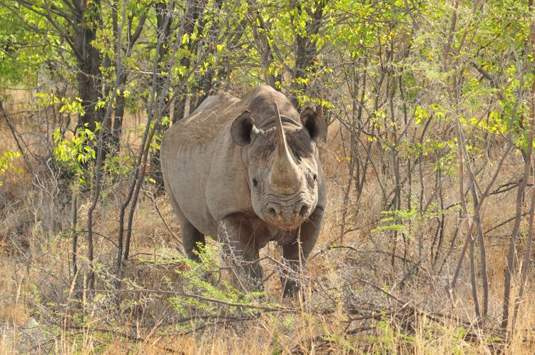 <p>That bungee-takeoff Falcon UAV is being used by the WWF Wildlife Crime Technology Project to protect animals like this rhino.</p>