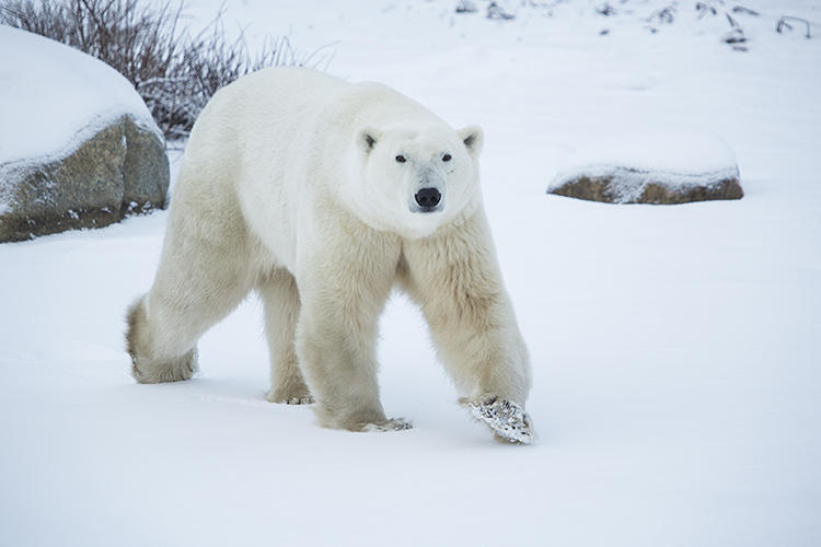 <p>Churchill, Manitoba has more polar bears than almost any other location in the world.</p>