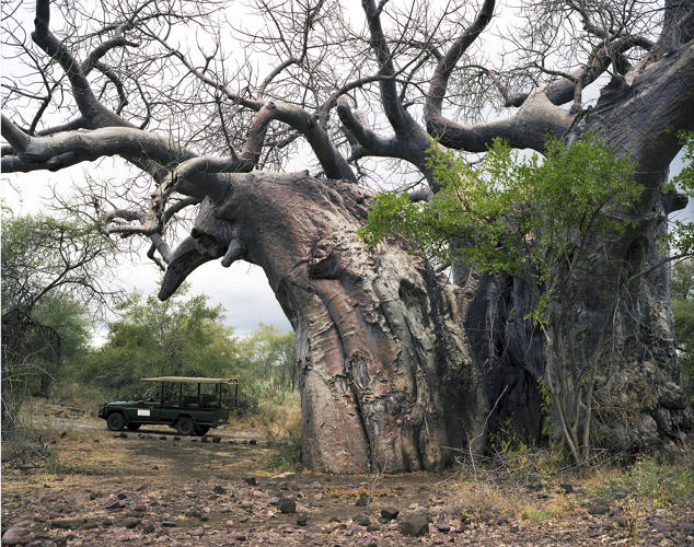 <p>A 2,000-year-old baobab tree in South Africa.</p>
