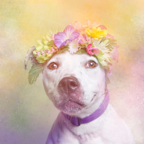 <p>The photographs she produced reimagine pit bulls as soft and lovable.</p>