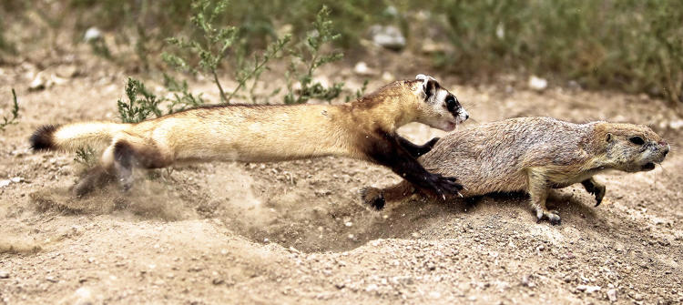 <p>For the endangered black-footed ferret, one of the biggest threats to survival is the bubonic plague, which is wiping out their prey: prairie dogs.</p>