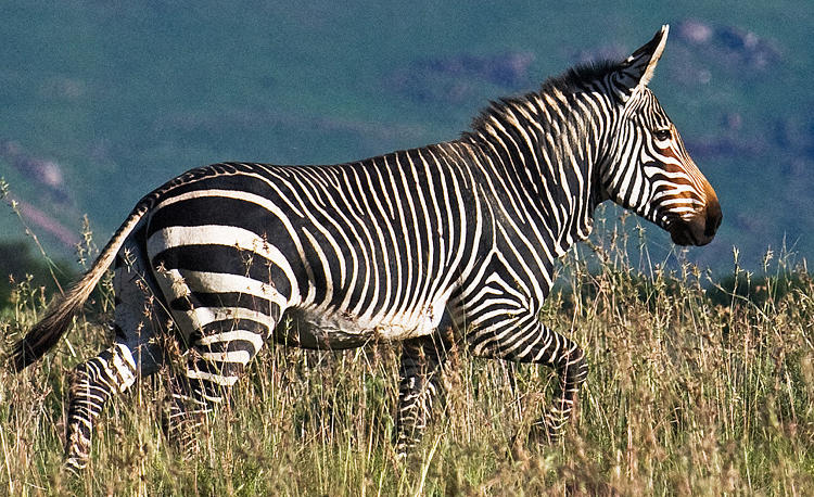 <p>Mountain zebra</p>
