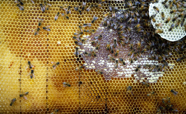 <p>Hive frame with visible honey and wax construction in the Synthetic Apiary environment</p>