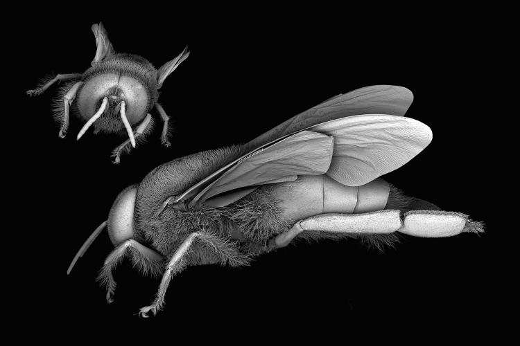 <p>Scanning electron microscope images of the honey bee, <em>Apis mellifera</em></p>