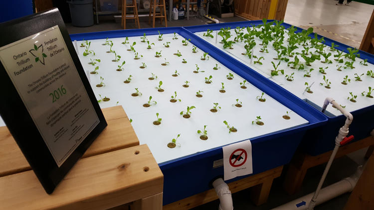 <p>To solve the problem, the food bank has opened a new aquaponic farm is growing both fish and fresh greens next to shelves of donated goods.</p>