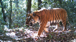 The Strategies And Tactics That Are Helping Tigers Make A Miraculous Comeback
