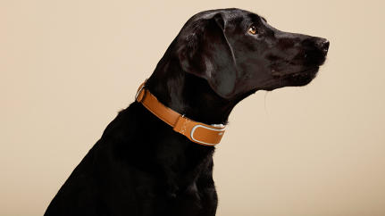 At The American Kennel Club, Wearables Are For The Dogs